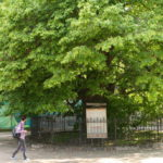 The ancient linden tree in Kyiv